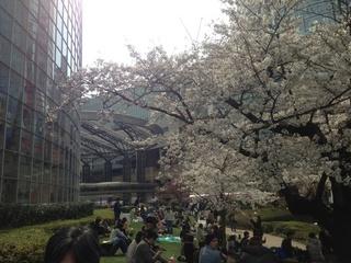六本木ヒルズ桜